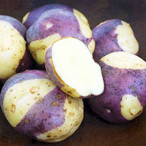 Close up of bi-colored purple and white 'Masquerade' potatoes. Six whole, and one cut in half showing white interior.