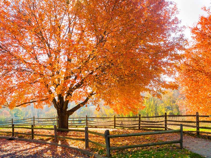 A country setting with wooden fences and mature maple trees with orange and red fall leaves.