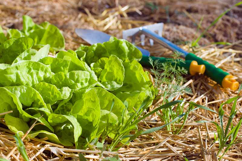 Close up of a butter lettuce plant surrounded by straw, with garden tools in soft focus in the background.
