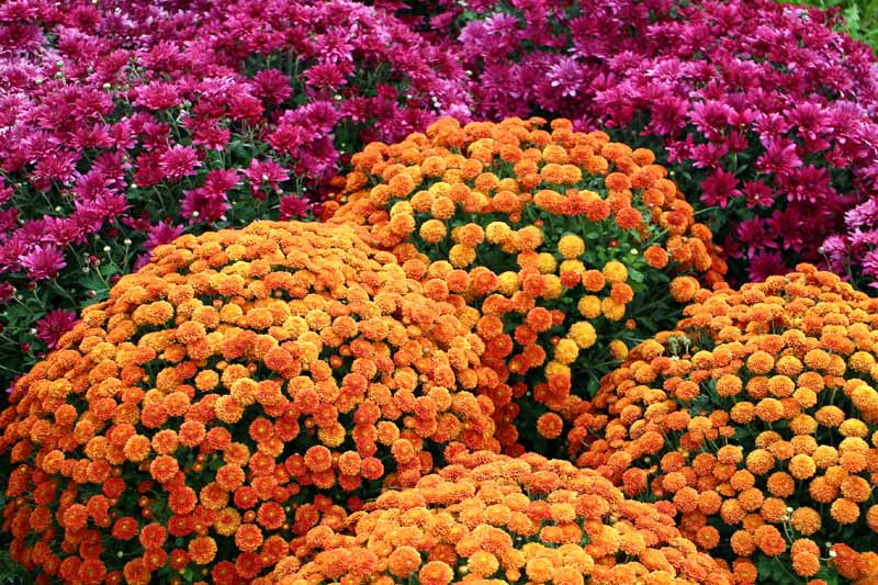 Orange and purple garden mums in bloom in the fall.