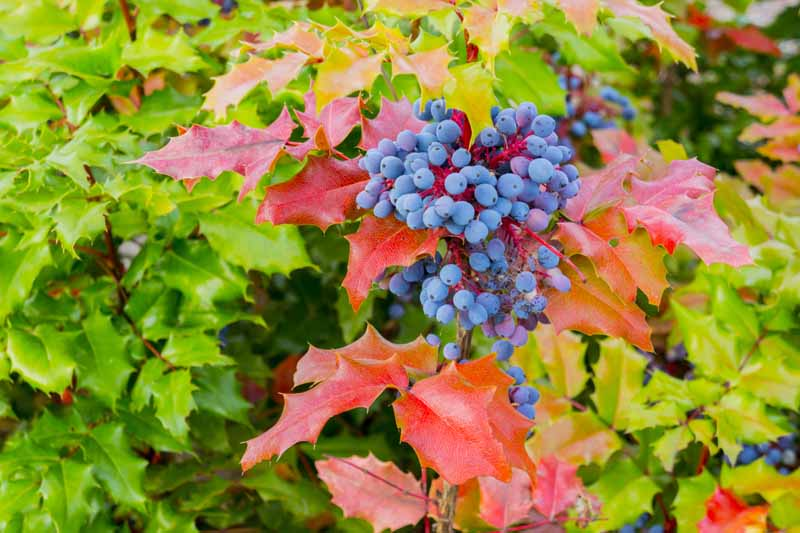Oregon Grape (Berberis aquifolium) with dark blue berries with fall foliage.