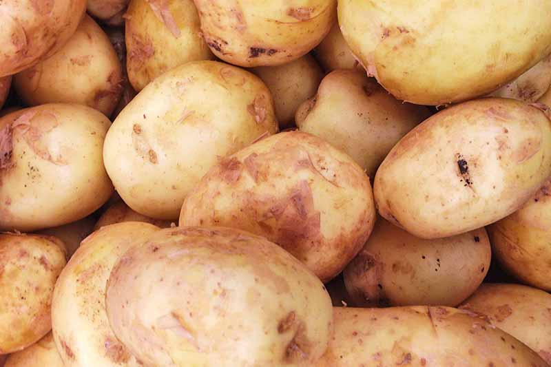 Full frame close up of clean potatoes with their light brown, flaky skins.