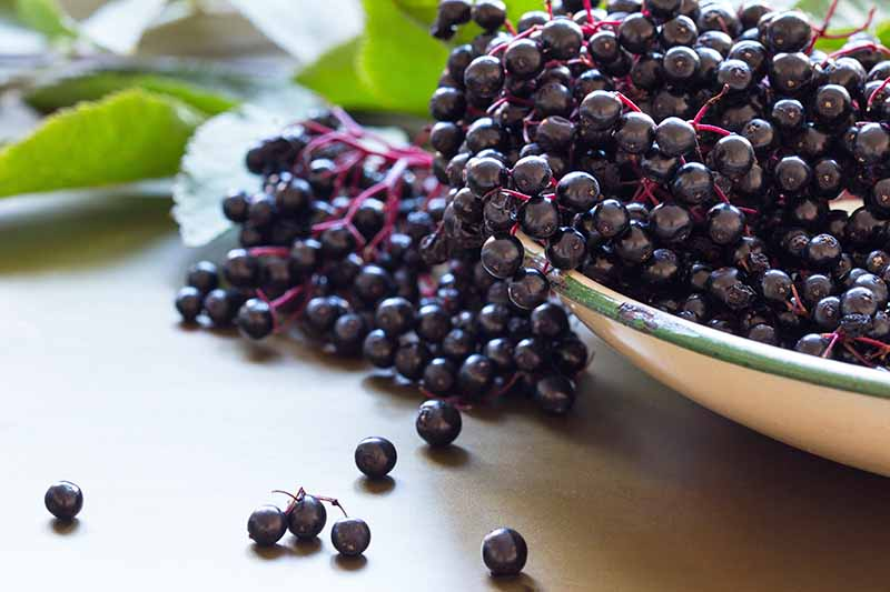 On the right of the image, dark purple elderberries, still on the light purple stems, overflow from an enamel bowl onto a wooden surface. Soft focus leaves in the background.
