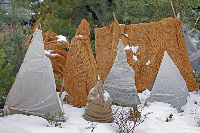 Plants wrapped in burlap sacks and frost cloth, with snow on the ground and trees in the background.