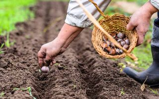 A close up of a man's hand, planting a garlic bulb in a small furrow in the soil. His other hand is holding a wicker basket, containing more garlic bulbs. The background is soft focus soil and grass.