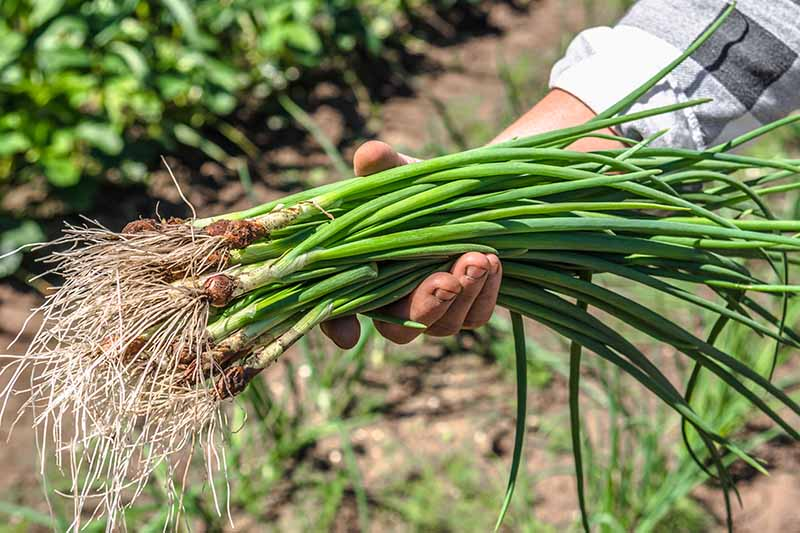 A close up of a man's hand from the right side of the frame, holding a bunch of newly harvested bunching onions in bright sunshine. The roots are still intact, with soil around the base, and bright green stems. The background is a garden bed in soft focus.