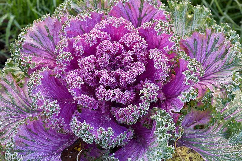 Close up of a purple flowering variety of Brassica oleracea, with curly leaves, bright purple in the center, gradually giving way to purple and green on the outer leaves.