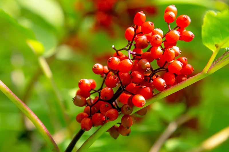 Close up detail of red elderberries on the stem with background of leaves in soft focus.