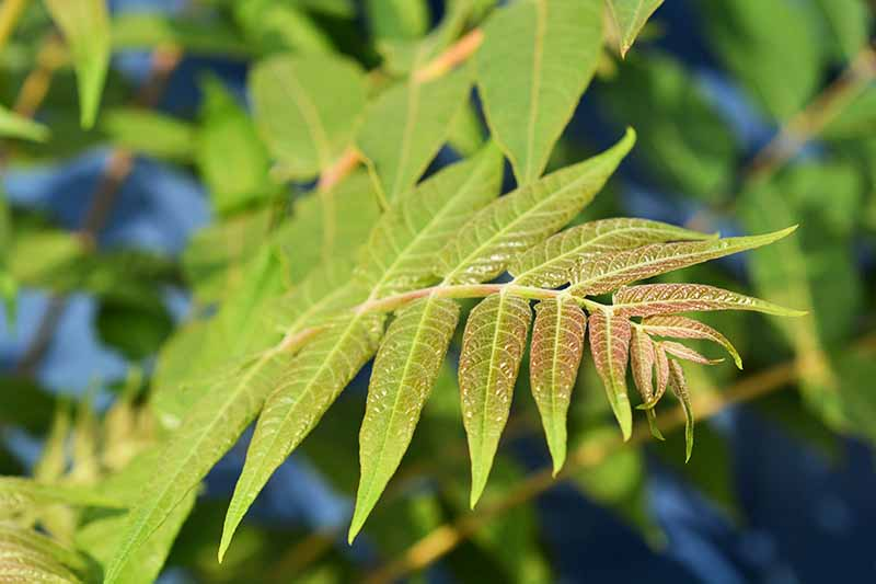 Close up of a tree of heaven leaf stem, showing a branch with leaves growing either side, mostly green with a reddish tinge. The background is soft focus tree leaves.