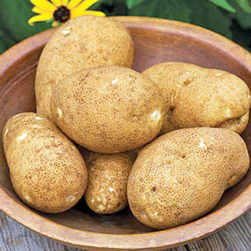 A wooden bowl on a wooden surface with a soft focus yellow flower in the background. In the bowl are six 'Rio Grande Russet' potatoes, showing their brown mottled skin.