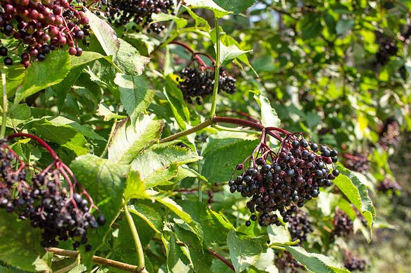 Close up of ripe purple elderberries growing wild on the green, leafy shrub in bright sunshine.
