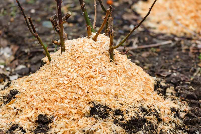 Rose bushes are insulated with sawdust in late autumn.