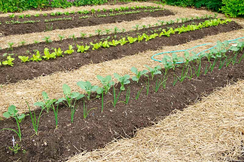 Neat rows of seedlings on mounds, surrounded by straw mulch in between the rows. A hosepipe is visible from the right of the frame.