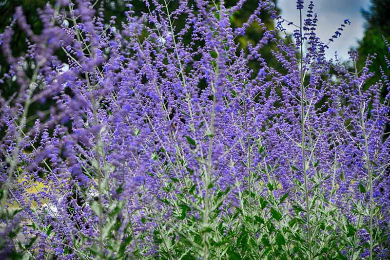 Russian sage (Perovskia atriplicifolia) blooming in the early fall with purple lavender flowers.