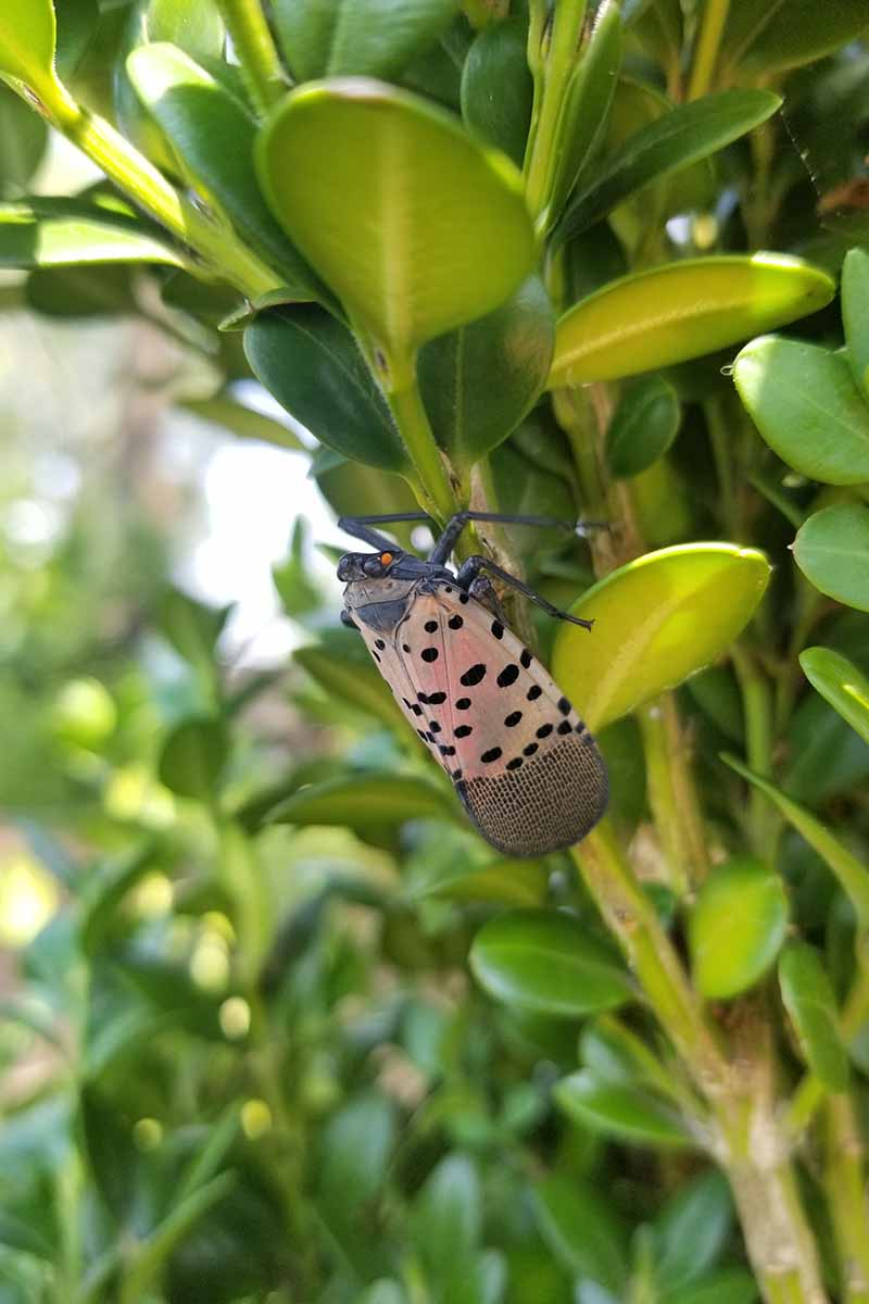 Close up of a spotted lanternfly, grayish wings with black spots, feeding on a leafy plant. Background is soft focus leaves.