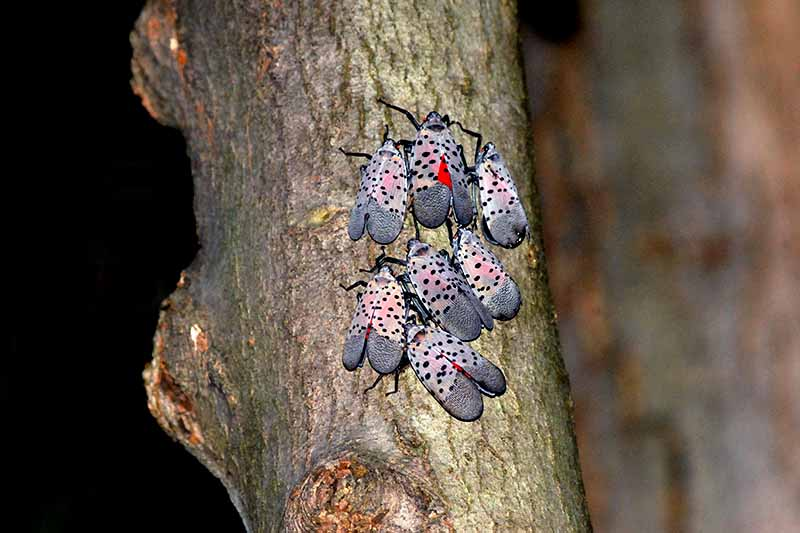 Close up cluster of 8 spotted lanternflies, with pinkish-gray wings and black spots, on tree bark with a soft focus background.