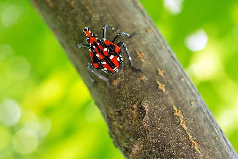 Close up of a spotted lanternfly nymph, a red and black body, with distinctive white spots, on a tree branch with leaves in soft focus giving a green background.