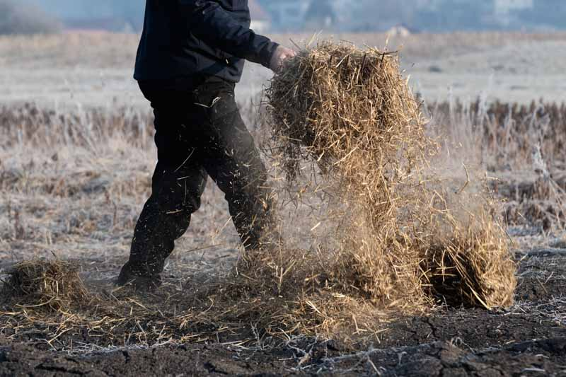 A man uses a pitchfork to spread straw mulch on a late fall garden.