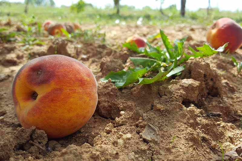 Fallen peaches with rot on the ground underneath an orchard canopy.