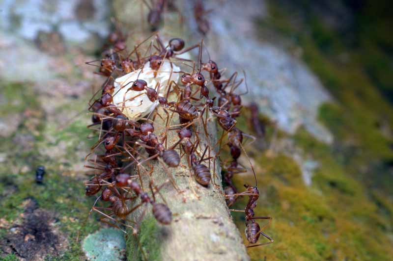 Pharaoh ants collecting food as a group. Macro shot.