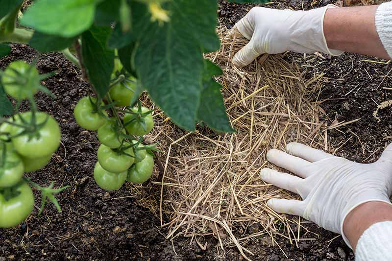 Two hands wearing white latex gloves, on the right of the frame are spreading straw over compost. To the left of the frame is a tomato plant, laden with unripe, green fruit.