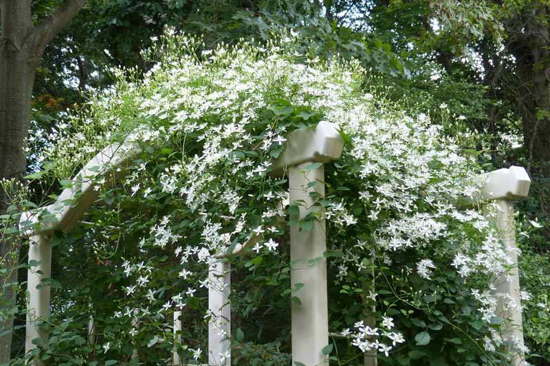 Sweet autumn clematis (Clematis terniflora) climbing over an arbor. In bloom with white flowers.