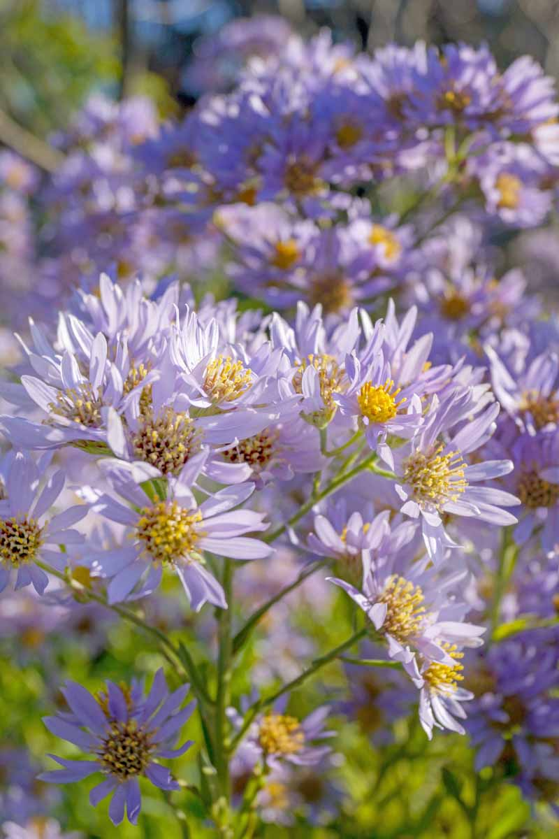 Close up of violet-colored Tatarian aster flowers.
