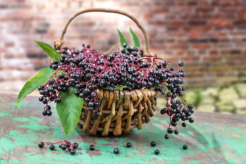 A green, distressed wood countertop with freshly harvested deep purple elderberries, still on the leafy stem, overflowing from a wicker basket. A few leaves to the left, with a brick background in soft focus.