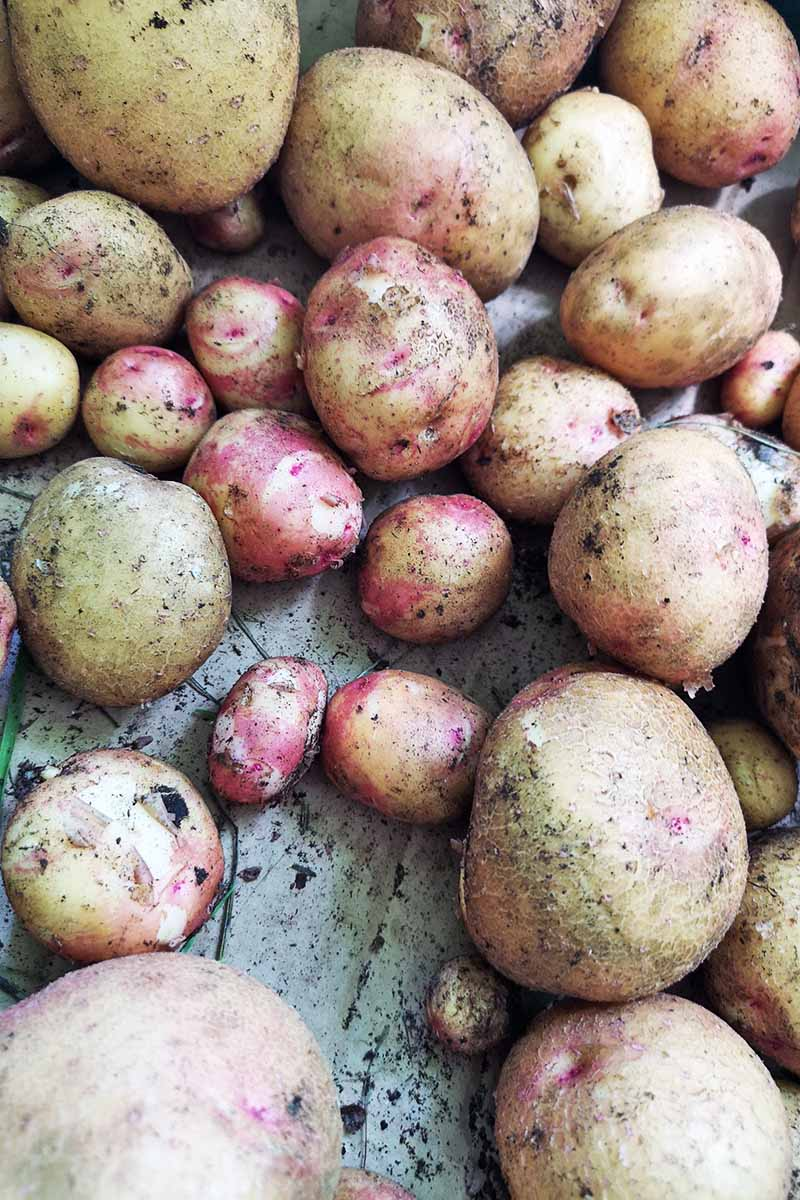 Close up of a variety of potatoes, large and small, on a rustic surface, with a little soil still on the skins.