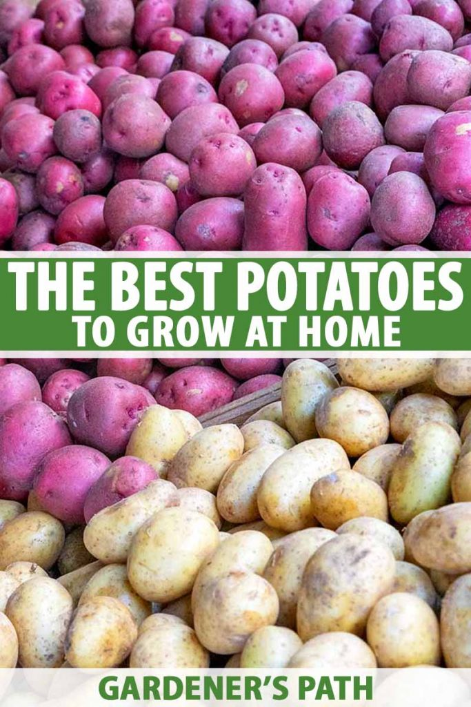 Close up showing purple potatoes on the top half of the frame, and white potatoes at the bottom. Green and white text at the middle and bottom of the frame.