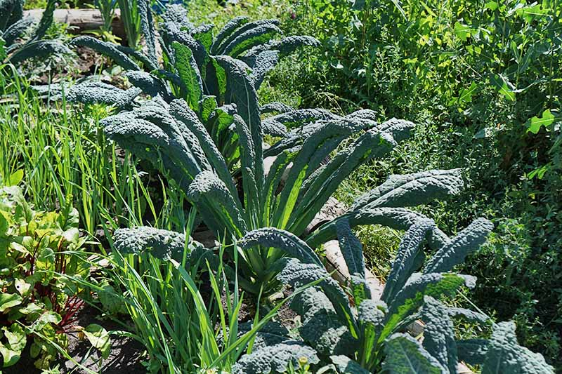 A row of kale plants, pictured in a vegetable bed, with their dark green leaves, against a background of grass and shrubs, in bright sunshine.