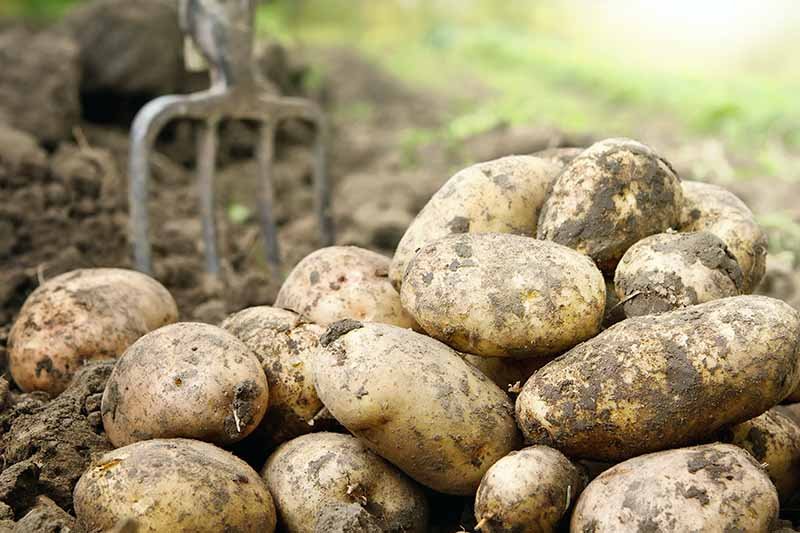 Freshly harvested potatoes with soil attached in the foreground. A soft focus background with a garden fork in the earth.