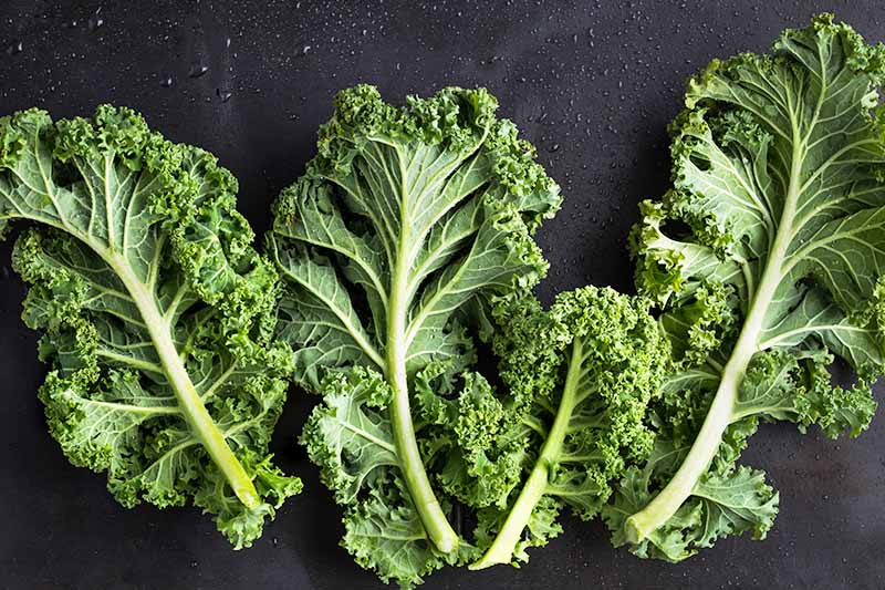 howto cut kale from garden