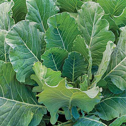 Close up of the 'Tiger' hybrid of Brassica oleracea, with upright green leaves and white veins, shown in gentle sunlight.