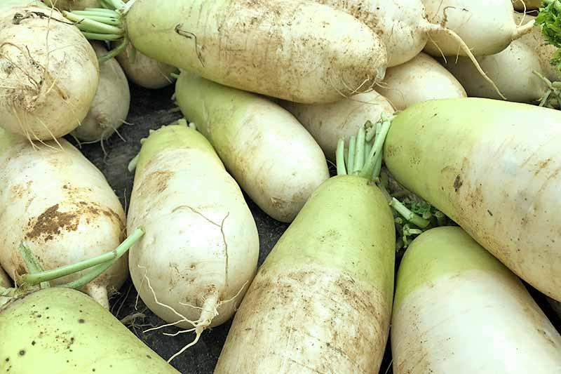 Close up of harvested daikon tubers, with their leaf tops cut off.