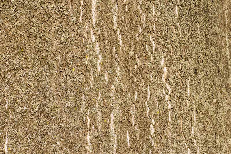 Close up of tree of heaven bark, mid brown color with lighter brown lines running through it, showing a rough texture.