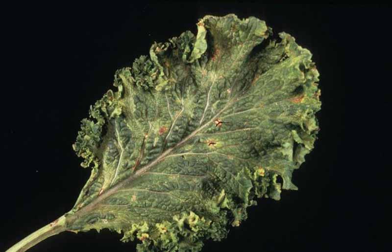 Turnip Mosaic Virus (Potyvirus TuMV) on brassica leaf