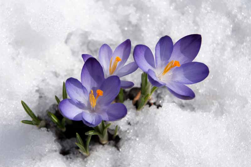 Violet crocuses pushing themselves out of the snow