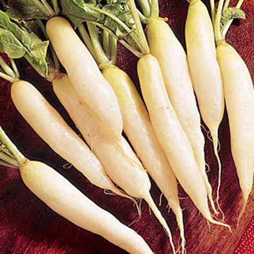 'White Icicle' daikon radishes harvested, with leaf tops attached, on a wooden surface.