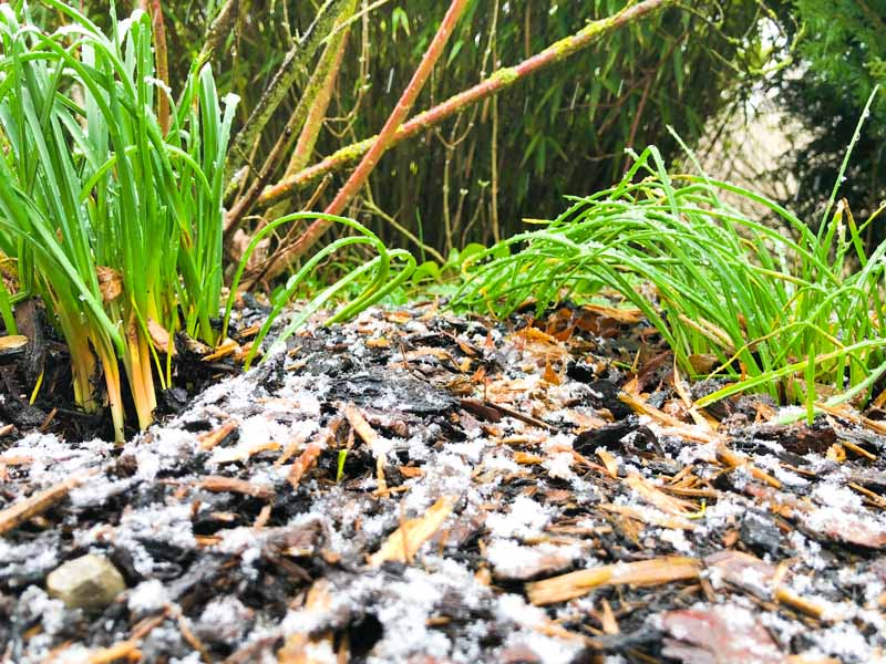 Wood chips covering the soil around chives in the winter. The wood chips have a layer of frost on them.