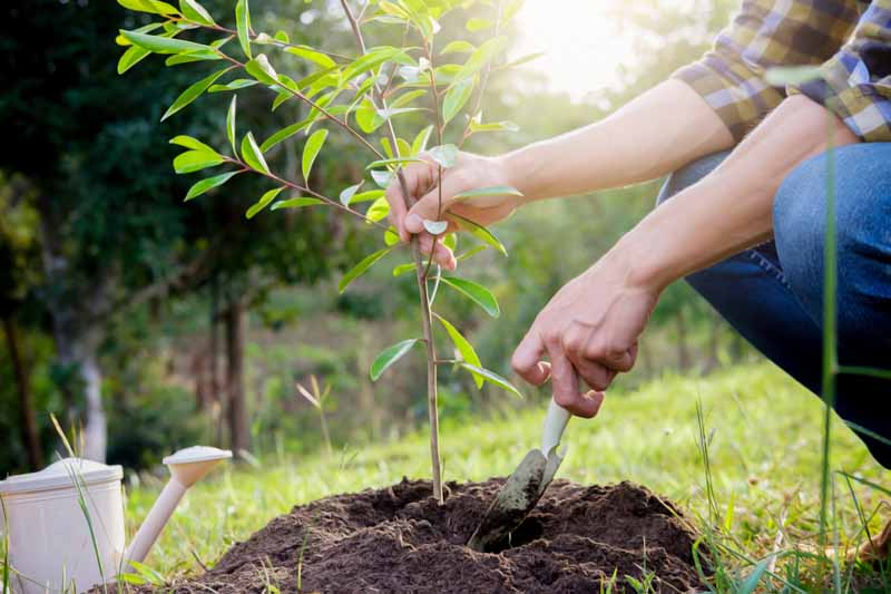 A pair of human hands plants a tree sapling in early fall.