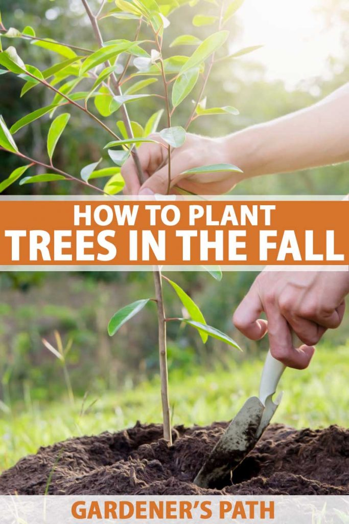 Close up of a a pair of human hands planting a young tree in the early fall.