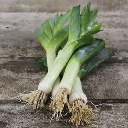 A close up of four 'American Flag' leeks, their roots still intact, with white stems and dark green foliage on a rustic wooden surface.