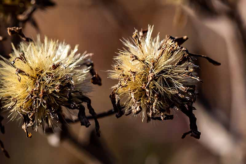 A close up of aster flowers dried and gone to seed. The tan colored, fluffy balls have dried dark brown seed heads protruding. The background is soft focus brown.