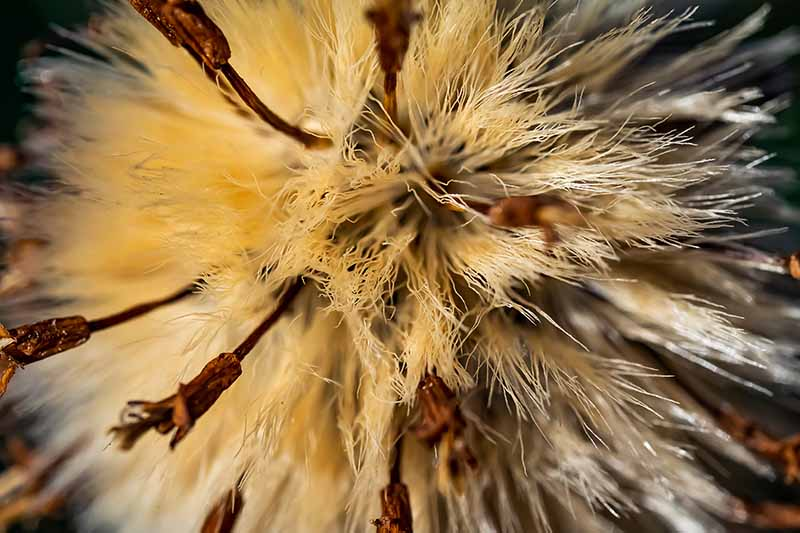 A close up of the filaments inside a seed head. Light tan wispy fibers with darker brown stalks protruding, fading into soft focus in the background.