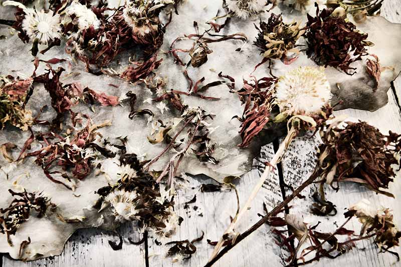 A close up of harvested seed heads from an aster plant, the stalks and seed heads drying on a white wooden surface and on a cloth.