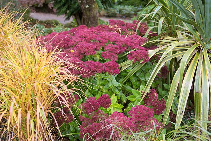 A plant with deep pink flower heads and contrasting green leaves nestles amongst ornamental grasses in an autumn garden. The background is soft focus trees and shrubs in gentle light.