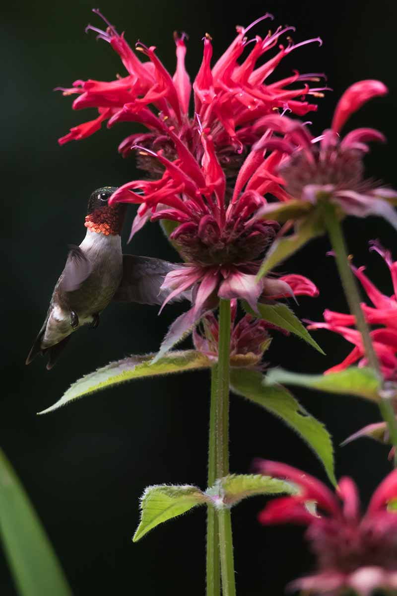 A close up of a red bee balm flower with a hummingbird feeding on the nectar. The vibrant red contrasts with the green foliage and stem, the background is dark in soft focus.