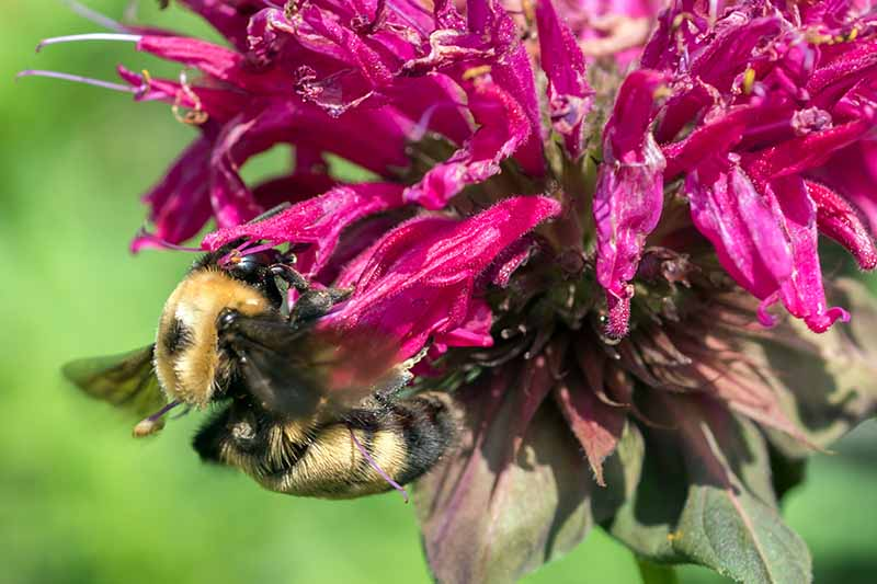 A close up of a pink bee balm flower with a bumblebee sipping the nectar. A black and tan bee contrasts with the bright vibrant color of the flower. The background is soft focus green.