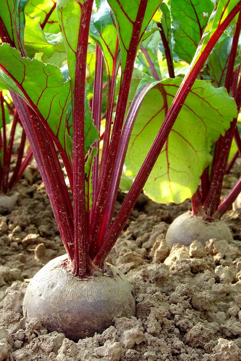 A vertical picture showing a beet with its crown out of the soil ready for harvest. The background shows the deep purple stalks contrasting with the green leaves against the light soil.